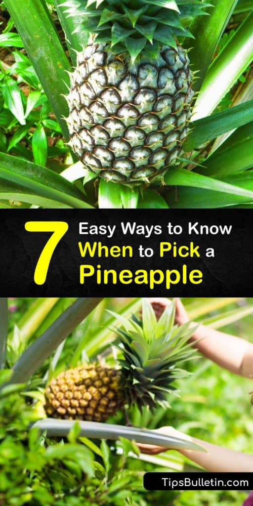 Discover how to grow your own pineapple plants at home and avoid the grocery store. You don't have to live in Hawaii to grow pineapple fruit. A good indicator that the perfect pineapple is ready for picking is when the fruit begins to turn yellow. #when #pick #pineapple