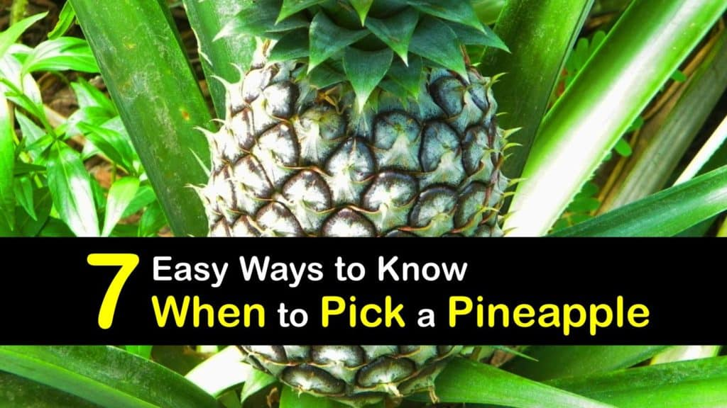 When to Pick a Pineapple titleimg1
