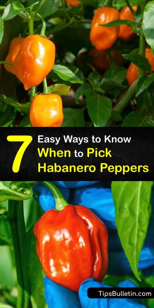 Work your way up the capsicum Scoville scale from bell peppers and chili peppers to the hotter pepper plants like the orange habanero and ghost pepper. Use this information on the habanero growing season, how to harvest these Caribbean plants, and turn them into hot sauce. #pick #habanero #peppers