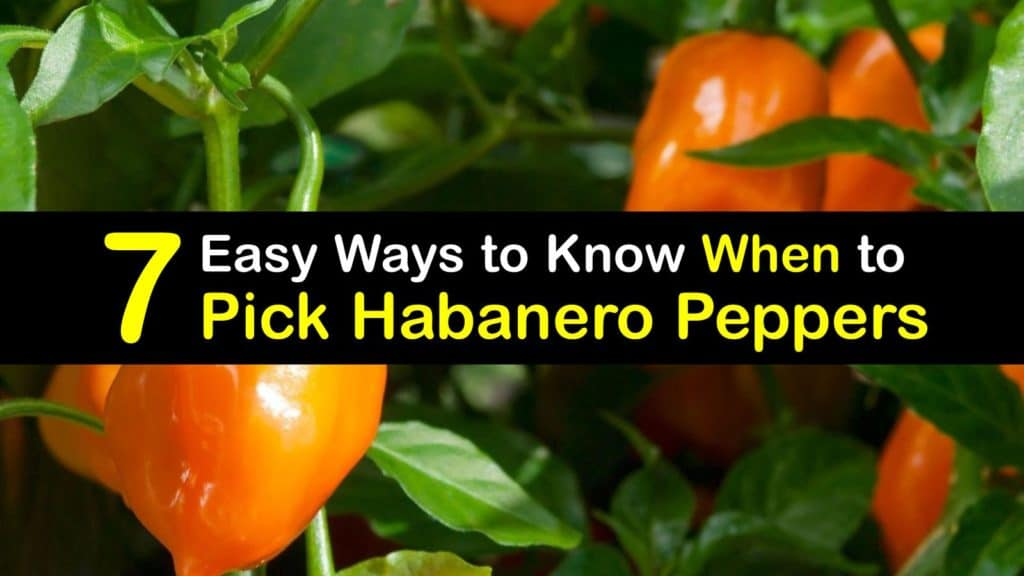 When to Pick Habanero Peppers titleimg1