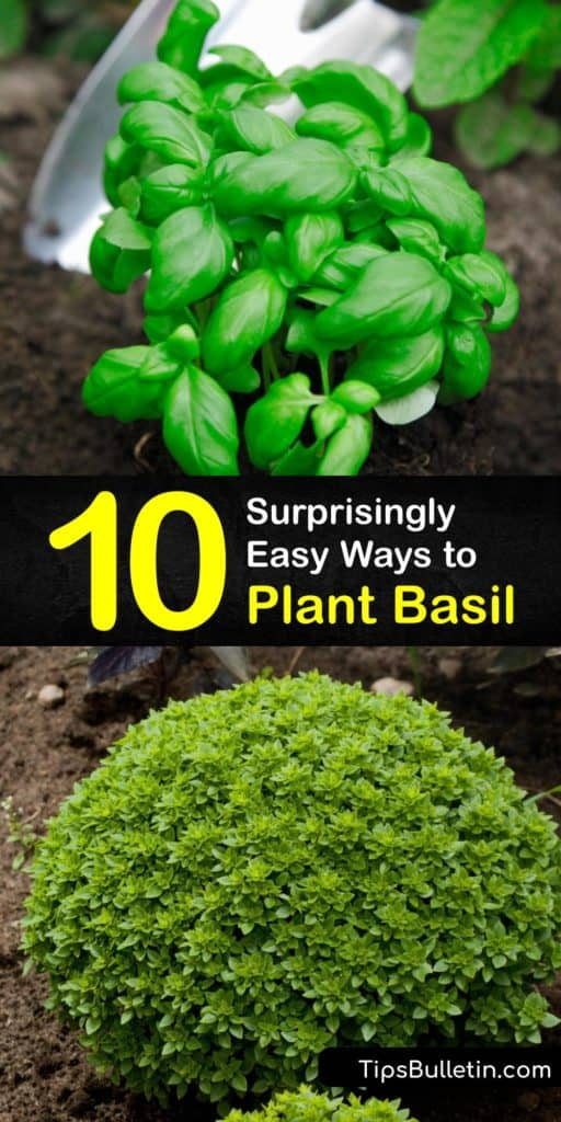 Plant fresh Genovese basil leaves in your garden this season. Fresh basil comes in varieties, like sweet basil, which tastes great on Italian dishes. Plant basil in an area with full sun and spread mulch. For long-term storage, freeze using olive oil and ice cube trays. #when #plant #basil