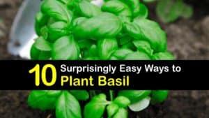 When to Plant Basil titleimg1