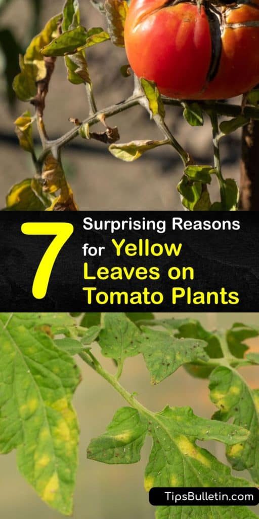 Learn remedies for yellow leaves on tomatoes. Plant disease and damage from pests like aphids cause yellowing leaves. Or, it may be a lack of calcium, nitrogen, or other nutrients. Add Epsom salts and fertilizer monthly to keep your plants thriving. #yellow #leaves #tomato #plants