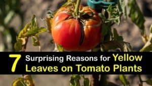 Yellow Leaves on Tomato Plants titleimg1
