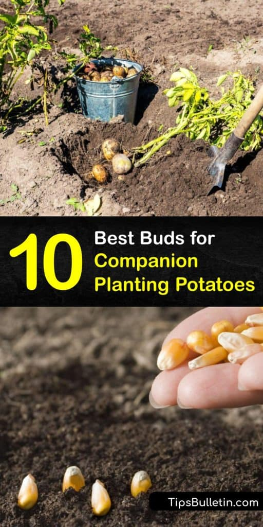 Learn about the basics of companion planting and gather information on how herbs, veggies, and flowers attract beneficial insects and repel the bad ones. Test out how bush beans, chamomile, turnips, horseradish, and nasturtiums all affect the growth of potatoes. #companion #planting #potatoes