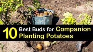 Companion Planting Potatoes titleimg1