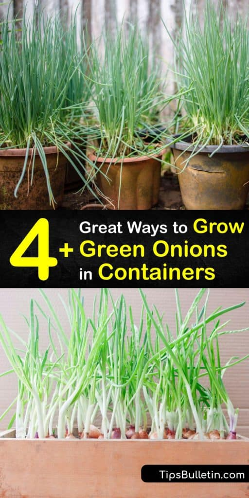 Discover how to grow onions on your kitchen windowsill. Green onions, or bunching onions, are in the Allium family. Plant onion seeds or onion sets in nutrient-rich potting soil and enjoy an endless supply of spring onions any time of the year. #growing #green #onions #container