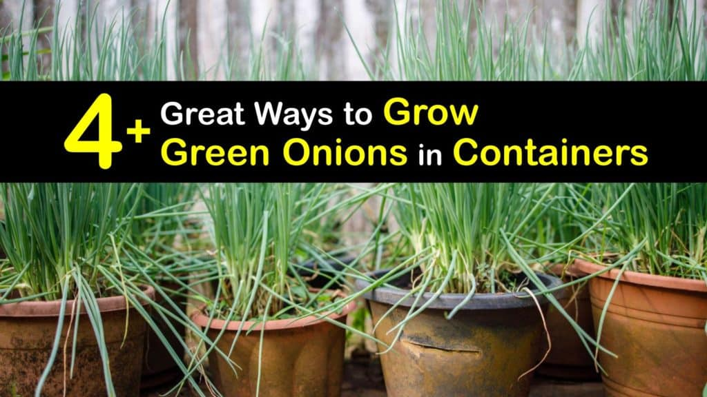 Growing Green Onions in Containers titleimg1