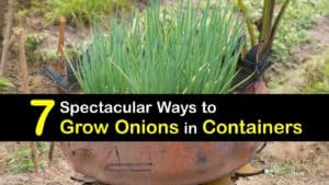 Growing Onions in Containers titleimg1