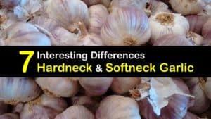 Hardneck vs Softneck Garlic titleimg1