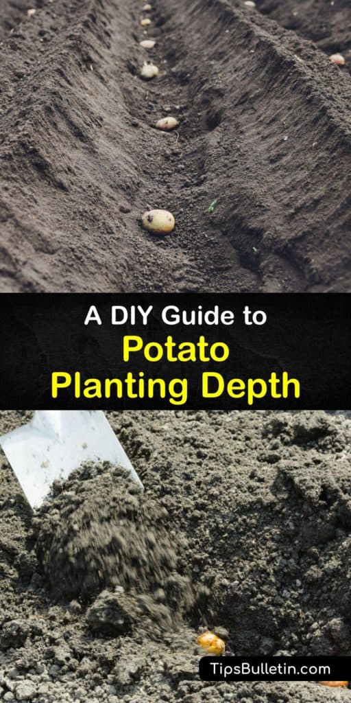 Plant potatoes at the beginning of the growing season and watch your fingerling and new potatoes start sprouting like crazy. Using mulch, loose soil, and a raised bed, growing potatoes has never been easy with this guide full of tips for planting potatoes the right way. #deep #plant #potatoes