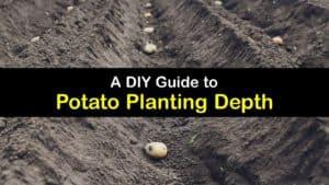 How Deep to Plant Potatoes titleimg1