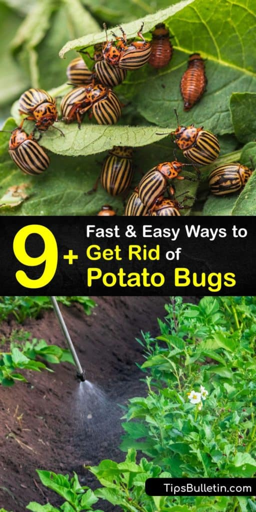 Fight back against Leptinotarsa decemlineata potato bugs with these highly effective strategies that kill or deter them from your potato plants. Soapy water, row covers, ladybugs, bacillus thuringiensis, and organic pesticides are only a few ways to kill potato beetles for good. #rid #potato #bugs