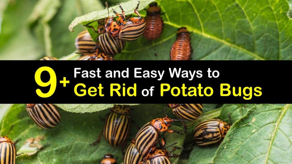 How to Get Rid of Potato Bugs titleimg1