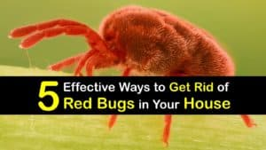 How to Get Rid of Red Bugs in Your House titleimg1