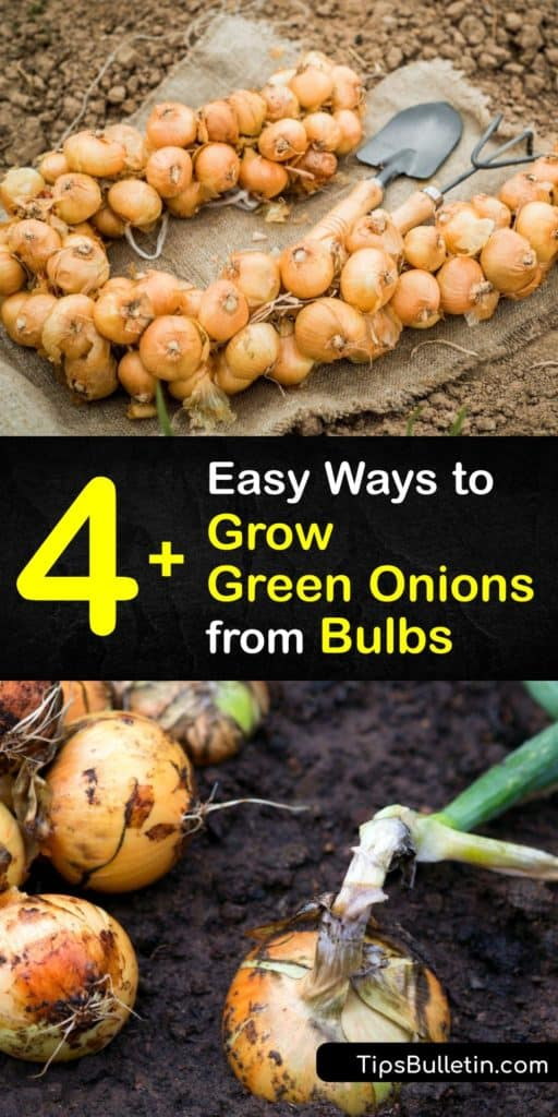 Use onion sets, onion seeds, and whole onion plants to grow spring onions at home and keep their green tops constantly growing. These planting strategies make it easy to put the plants in full sun, control the potting soil, and keep thrips and other pests away. #grow #green #onions #bulbs