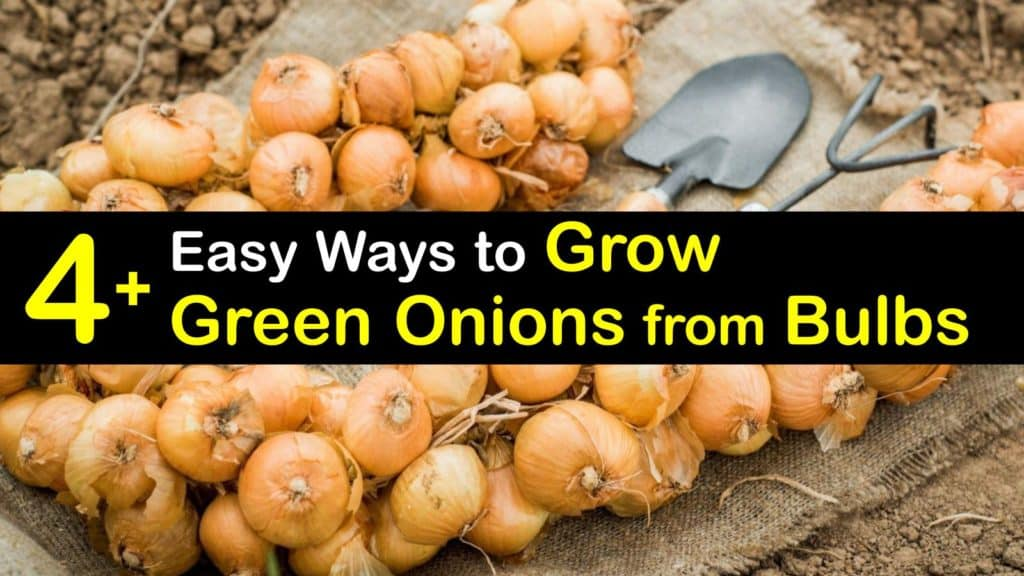 How to Grow Green Onions from Bulbs titleimg1