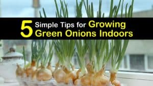 How to Grow Green Onions Indoors titleimg1