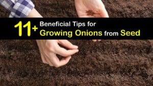 How to Grow Onions from Seed titleimg1
