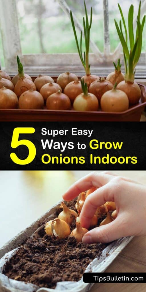 Figure out the different ways to grow onion seeds, onion sets, and other onion plants from the allium family with this quick guide. Pick up some crucial pointers about potting soil, sun, mulch, and planting in the early spring to give your onions the best chance at life. #grow #onions #indoors