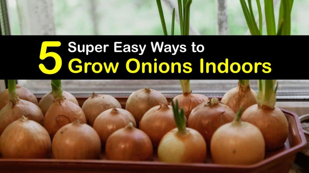 How to Grow Onions Indoors titleimg1