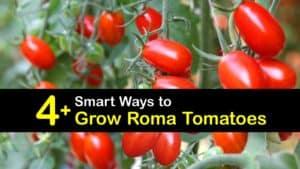 How to Grow Roma Tomatoes titleimg1