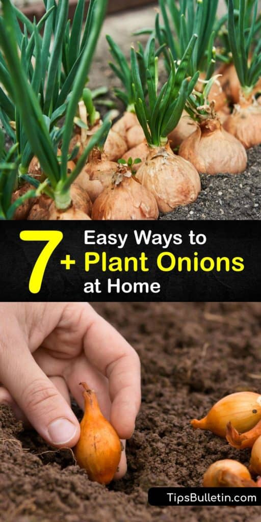 Discover how to plant short-day and long-day onions in early spring from seeds, onion sets, and scraps and enjoy a good harvest at the end of the growing season. Planting onions is easier than you think. #howto #plant #onions #growing