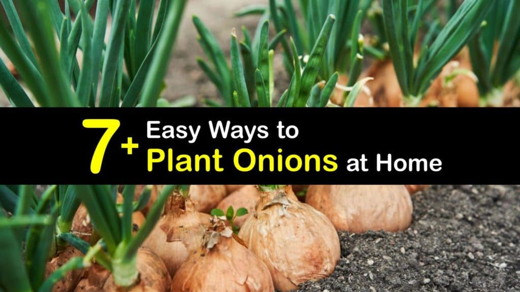 How to Plant Onions titleimg1