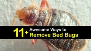 How to Remove Bed Bugs titleimg1