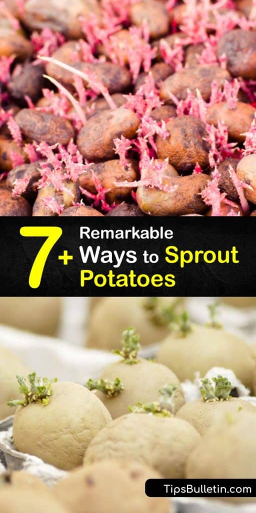 Discover how to get a head start when planting potatoes by chitting, or sprouting seed potatoes indoors. Growers enjoy an earlier harvest and less risk of pest and disease issues in early spring. Grow new potatoes via hilling, container planting, or in straw bales. #sprout #potatoes #howto