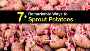 How to Sprout Potatoes titleimg1