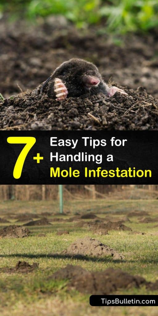 Rejoice in your hard work and dedication with these tips to stop a mole infestation. Homeowners use this advice to learn how to spot molehills and tunneling while eliminating the food source, setting mole traps, and spraying castor oil repellents to keep pests at bay. #stop #mole #infestation