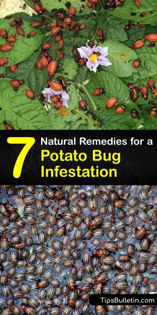 Learn how to kill and prevent pill bugs without having to call in pest control services. Large numbers of the Colorado potato beetle cause destruction in the garden and it's vital to take action using a pesticide or diatomaceous earth to eliminate them.  #getridof #potato #bugs #infestation