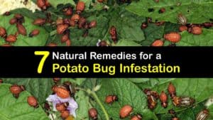 Potato Bug Infestation titleimg1