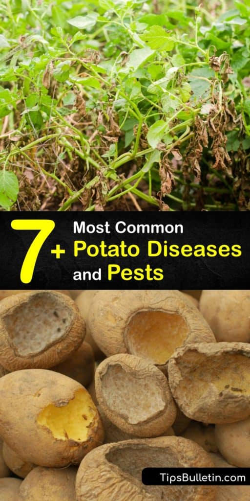 Learn how to protect potato plants from potato diseases with fungicides and prevent future problems. Lesions on infected tubers and foliage are signs of bacteria or fungal disease that affect potatoes, including soft rot, late blight, and black scurf. #potato #diseases #pests