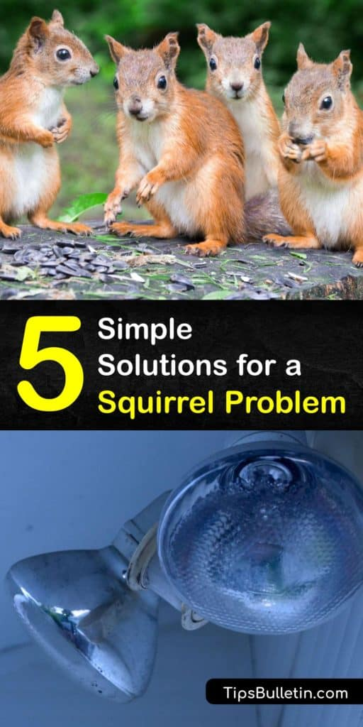 Learn how to get rid of squirrels in your crawl spaces and garden by using lights and daffodils. Squirrels find entry points in the eaves of your house and chew electrical wiring. If you have a squirrel problem, install wire mesh around your plants for pest control. #prevent #squirrel #problem