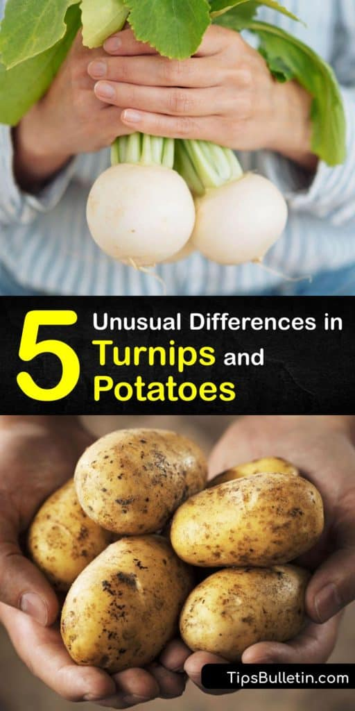 Learn the differences between turnips and potatoes, and how to substitute them in recipes. Both veggies are roots but turnips are higher in vitamin C, lower in carbs and a cup contains 1.2 grams of fiber, and potatoes are higher in potassium, folate, and starch. #turnips #potatoes #differences