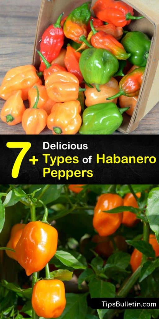 Discover why habaneros, or capsicum chinense, are some of the most popular hot peppers. Similar in flavor and heat level to Scotch Bonnet peppers and milder than a ghost pepper, habaneros are perfect for making chili pepper hot sauce. #habanero #varieties #hot #peppers