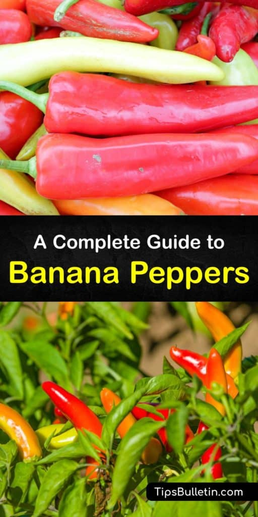 Learn the difference between chili pepper, bell peppers, pepperoncini, and banana peppers. As banana peppers ripen, they develop a tangy taste. Pickling Capsicum annuum foods is a way to preserve them. Pickled banana peppers taste delicious and stay fresh in storage. #banana #pepper #varieties