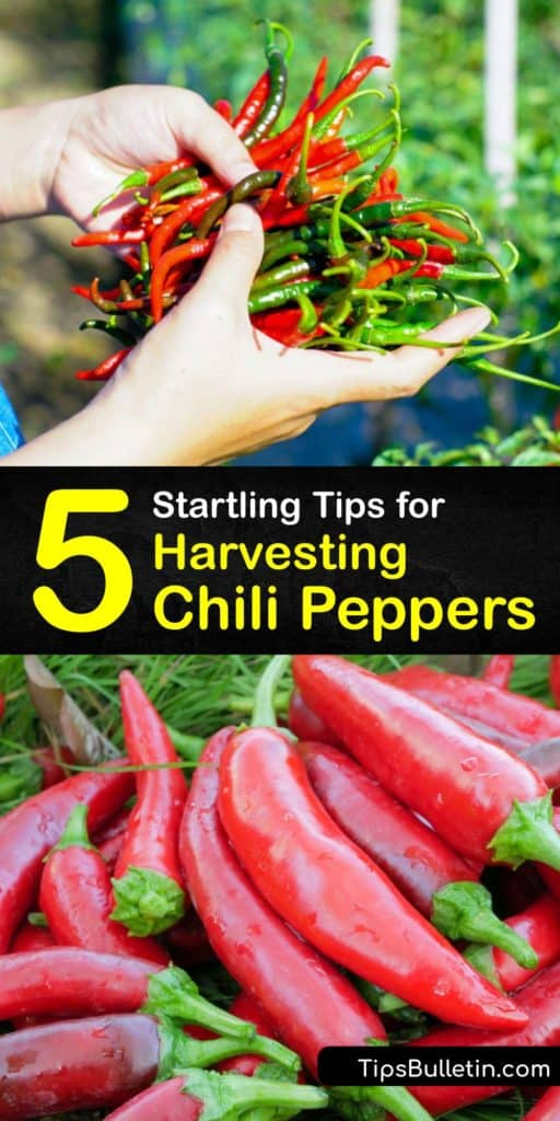 Harvest chili peppers and hot peppers like Serrano, Habanero, Bell peppers, and other chili plants using this guide for harvesting peppers at the perfect time. Follow the growing season timeline to manipulate the capsaicin and make your chilli peppers spicy. #harvest #chili #peppers