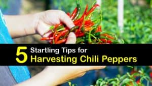 When to Harvest Chili Peppers titleimg1