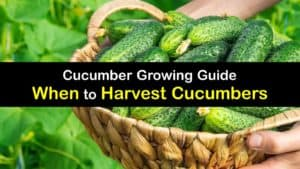 When to Harvest Cucumbers titleimg1