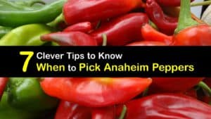 When to Pick Anaheim Peppers titleimg1