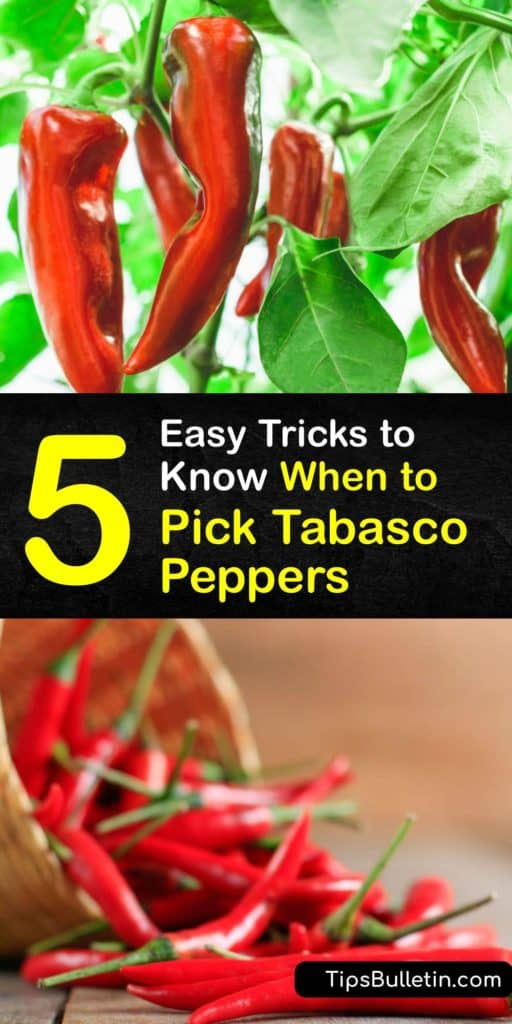 Learn how to grow Tabasco peppers, when they are ready to harvest at the end of the growing season and make homemade Tabasco sauce. Tabasco peppers need full sun to grow and unlike bell peppers, this hot pepper has a medium-hot Scoville rating. #when #picking #harvesting #tabasco #peppers