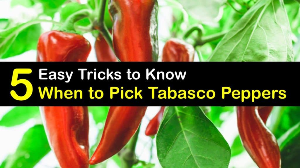 When to Pick Tabasco Peppers titleimg1
