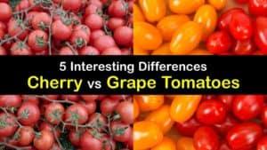 Cherry vs Grape Tomatoes titleimg1