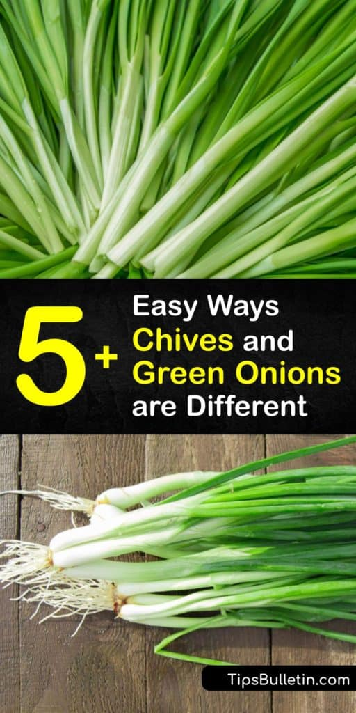 Discover the difference between Allium fistulosum and Allium schoenoprasum to boost the flavor of stir-fry and baked potatoes. This guide shows you how to pick out chives, spring onions, and other allium plants at the grocery store and use them in your favorite recipes. #chives #greenonions