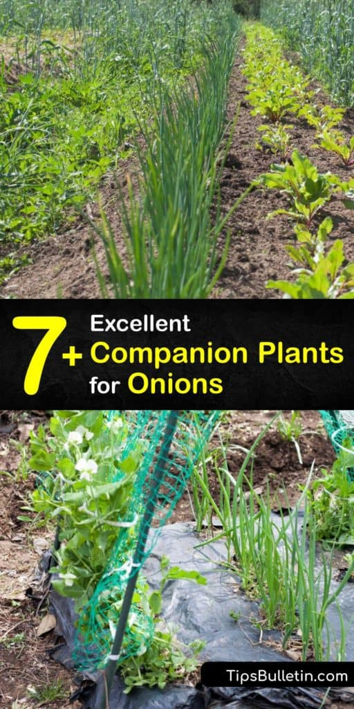 Discover how to grow onions with ease by growing companion plants. Onions deter aphids naturally, and they grow well alongside radishes, turnips, and many other plants. However, chives and leeks don't make good companions since they attract onion maggots. #companion #plant #onions