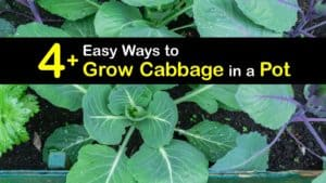 Growing Cabbage in Containers titleimg1