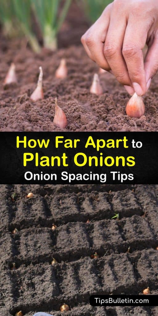 Find out just how important spacing is and learn exactly how far apart to plant short-day, long-day, and day length onions. Plant onions and scallions in the early spring from onion seeds or onion sets and add mulch to produce big beautiful bulbs this growing season. #apart #plant #onions